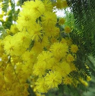 La mimosa storia pianta usi e una canzone il for Mimosa in vaso